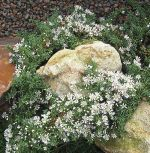 Aster pansus snow flurry