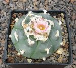 Lophophora williamsii texana